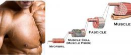 Всичко което трябва да знаем за мускулната хипертрофия част2