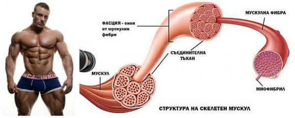 Всичко което трябва да знаем за мускулната хипертрофия част1